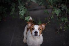 Un cane nella città Viaggiando con l'animale domestico Piccolo Jack Russell Fotografie Stock