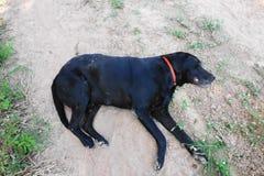 Un cane nero che si trova sulla terra Fotografia Stock Libera da Diritti