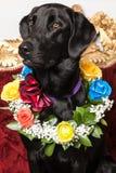 Un cane nero con una collana dei fiori naturali fotografia stock
