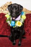 Un cane nero con una collana dei fiori naturali immagine stock libera da diritti