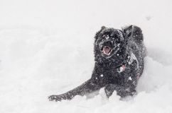 Un cane nero nella neve divertente Immagini Stock
