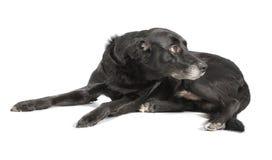 Un cane nero su fondo bianco Immagine Stock