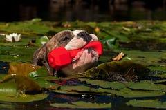 Un cane nuota con il suo giocattolo Fotografia Stock