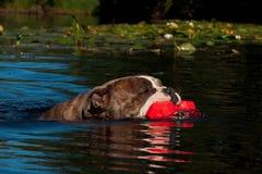Un cane nuota con il suo giocattolo Fotografie Stock Libere da Diritti