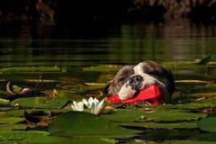 Un cane nuota con il suo giocattolo in fiume Fotografia Stock