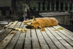 Un cane pigro si trova sull'plance in Koh Samui, Tailandia Fotografia Stock Libera da Diritti
