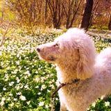 Un cane in primavera Immagini Stock