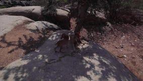 Un cane rabbioso si trova su una pietra nelle convulsioni stock footage