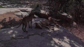 Un cane rabbioso si trova su una pietra nelle convulsioni archivi video