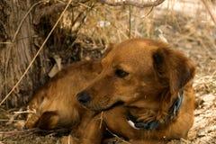Un cane randagio rosso si trova sotto un cespuglio Fotografia Stock Libera da Diritti