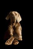 Un cane in ritratto nella fine su Fotografie Stock