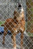Un cane rosso urla mentre nella sua gabbia al riparo animale Fotografia Stock