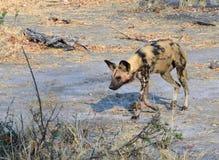 Un cane selvaggio insanguinato solo Botswana Tom Wurl Immagine Stock