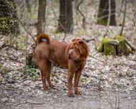 Un cane shar di pei che sta su un percorso nel parco immagine stock libera da diritti
