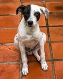 Un cane sottomesso che si siede sulle mattonelle rosse fotografie stock libere da diritti