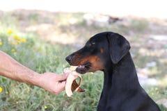 Un cane sta mangiando una banana dalla sua mano del ` s del ownr immagini stock