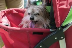Un cane sta sedendosi con le sue tenaglie che attaccano fuori fotografia stock