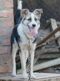Un cane su una catena Immagini Stock
