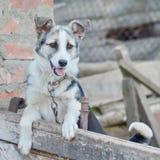 Un cane su una catena Fotografia Stock Libera da Diritti