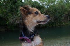 Un cane sulla banca di un fiume Immagini Stock