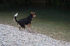 Un cane sulla banca di un fiume Fotografia Stock Libera da Diritti