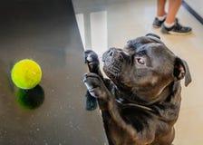 Un cane sveglio di Staffordshire bull terrier raggiunge fino ad una credenza della cucina per provare e raggiungere la sua pallin immagine stock