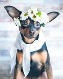 Un cane in una corona delle camomille e di una sciarpa Il tema della molla Immagine Stock Libera da Diritti