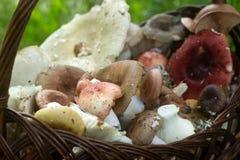 Un canestro pieno dei funghi della foresta di estate dei toni pastelli differenti contro lo sfondo di una radura della foresta Fotografia Stock Libera da Diritti