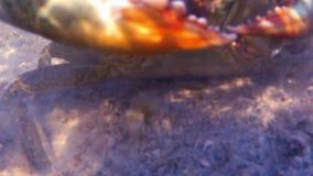 Un cangrejo azul que se arrastra en la arena bajo el agua metrajes