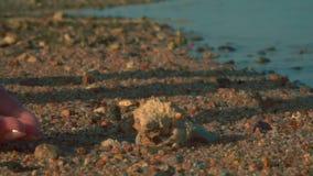 Un cangrejo de ermitaño corre de la palma a la arena almacen de metraje de vídeo