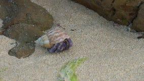 Un cangrejo de ermitaño en la playa de Tomori en Amami Oshima, Kagoshima, Japón almacen de metraje de vídeo
