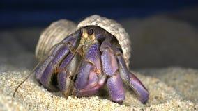 Un cangrejo de ermita?o en la playa de Tomori en Amami Oshima, Kagoshima, Jap?n almacen de metraje de vídeo