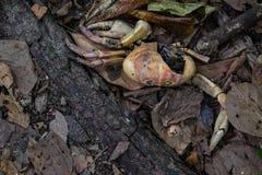 Un cangrejo secado Foto de archivo libre de regalías