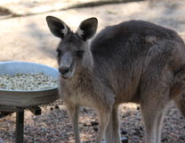 Un canguro Immagini Stock Libere da Diritti