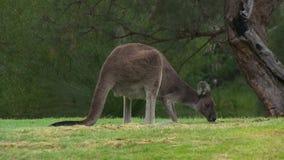 Un canguro che mangia erba da un albero archivi video