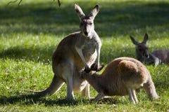 Un canguro del canguro en la momia   Imágenes de archivo libres de regalías