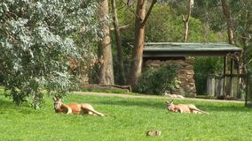 Un canguro e un campo erboso video d archivio