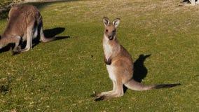 Un canguro gris del este joven almacen de video