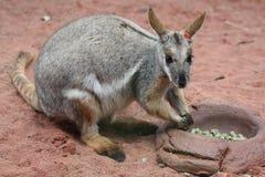 Un canguro lindo en Sydney foto de archivo libre de regalías