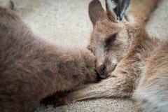 Un canguro lindo y pequeño o del bebé duerme en la cola del ` s del canguro de la mamá imagen de archivo