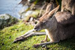 Un canguro relajado que se sienta en hierba en un parque Foto de archivo libre de regalías