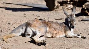 Un canguro rojo Fotografía de archivo libre de regalías