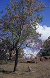 Un canguro salvaje bajo árbol Foto de archivo