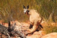 Un canguro selvaggio che si siede nel parco nazionale di Karijini Fotografia Stock Libera da Diritti