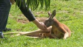 Un canguro y un campo herboso almacen de metraje de vídeo