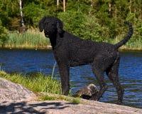 Un caniche real del corte negro, haciendo una pausa un lago del bosque fotografía de archivo
