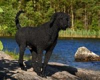 Un caniche real del corte negro, haciendo una pausa un lago del bosque imagen de archivo