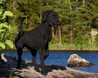 Un caniche real del corte negro, haciendo una pausa un lago del bosque fotos de archivo libres de regalías
