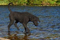 Un caniche real del corte negro, haciendo una pausa un lago del bosque foto de archivo