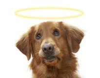 Un canino pieno di sentimento Fotografia Stock Libera da Diritti